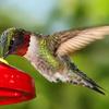 uglybird